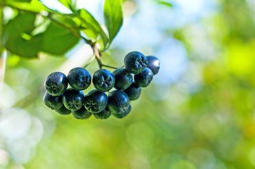 2x h-ONE+ von hajoona Aronia-Granatapfelgetränk mit Kräuterextrakten, Vitaminen und Mineralstoffen. – Bild 4